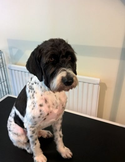 German Wirehaired Pointer After