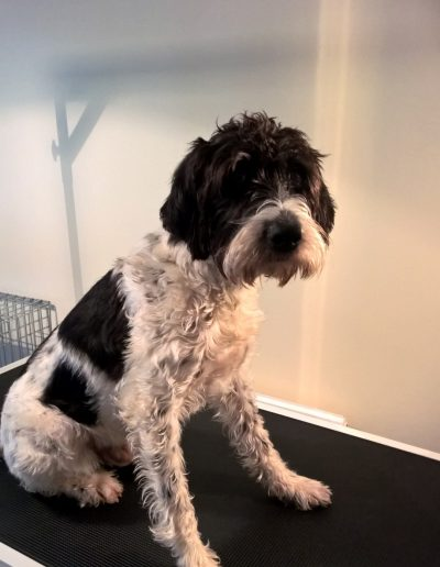 German Wirehaired Pointer Before