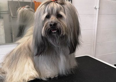 Lhasa Apso After